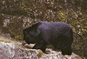 zwarte beer darjeeling